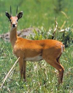 antelope (แอ๊นโทลโลพฺ) ละมั่ง