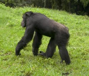 ape (เอ๊พฺ) ลิงชนิดไม่มีหาง