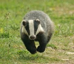 badger แบดเจอร์