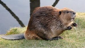 beaver (บี๊เฝอรฺ)  บีเวอร์