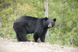 black bear (แบ็ลคแบรฺ) หมีดำ