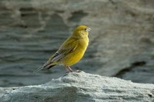 canary นกขมิ้น