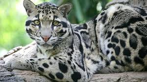 clouded leopard  เสือลายเมฆ