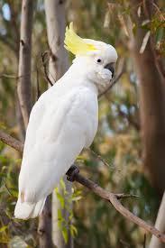 cockatoo นกกระตั้ว