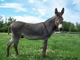 donkey (ด๊อนกี) ลา