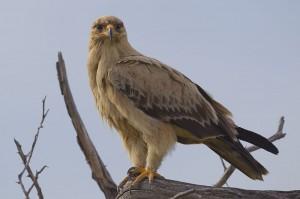 eagle (อี๊เกิล) นกอินทรี