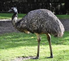 emu นกอีมู