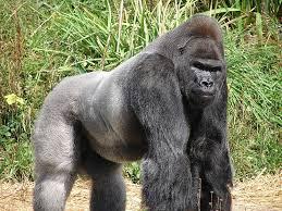 gorilla (เกอรี๊ลา) กอริลลา