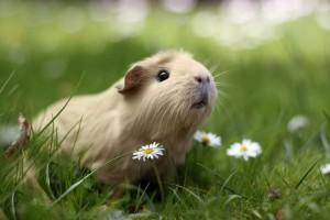guinea pig (กิ๊นเน พิกฺ) หนูตะเภา