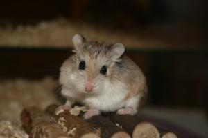 hamster (แฮ๊มสฺเตอรฺ) หนูแฮมสเตอร์