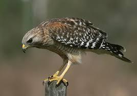 hawk  เหยี่ยว