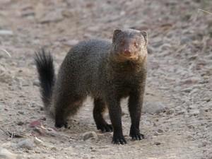 mongoose พังพอน