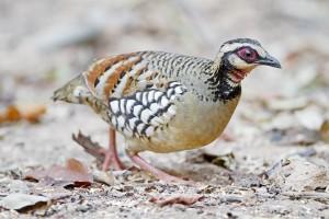 partridge นกกระทา
