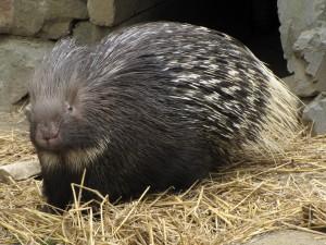 porcupine เม่น