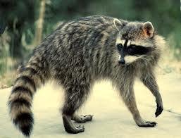 raccoon (แรคู๊น) แรคคูน