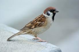 sparrow นกกระจอก