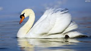 swan หงส์