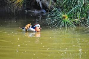 teal นกเป็ดน้ำ